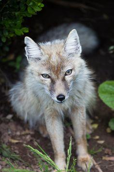 corsac fox from the zoological garden of Saarbrücken, by homerlein via DeviantArt | #Saarbrücken #corsac