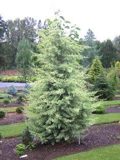 . Arizona Cypress 'Chaparral'