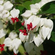 Kohtalonköynnös - Clerodendrum thomsoniae | Kukkien ja kasvien hoito-ohjeet