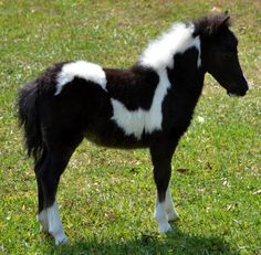 Photos and video of a super nice black and white pinto miniature horse filly foal for sale with outstanding color marking and great conformation. Miniature Horses For Sale, Deer Tracks, Horse Markings, Rare Horses, Mini Horses, Painted Horses, Horse Face, Horse World, Beautiful Horses