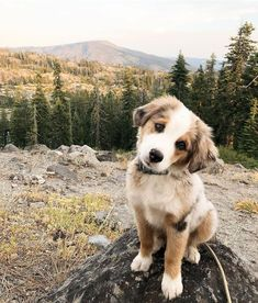 Cutest pup in Tahoe National Forest United States. Small Cute Puppies, Cute Baby Dogs, Super Cute Puppies, Baby Animals Pictures, Cute Animal Photos, Cute Little Animals, Cute Funny Animals, Aussie Puppies, Australian Shepherd Dogs
