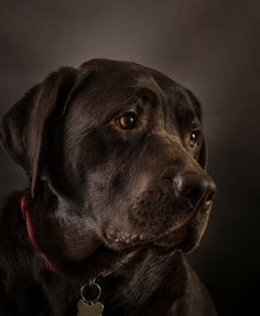 """Determine even more info on """"black labs"""". Visit our website. Black Lab Puppies, Cute Puppies, Cute Dogs, Dogs And Puppies, Doggies, Chocolate Labrador Retriever, Black Labrador, Black Labs, Dog Rules"""
