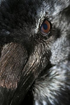 Raven by Helen#White, via Flickr
