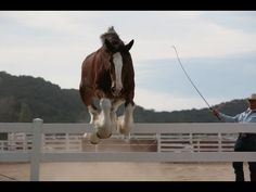 collection of training and behind the scenes clips that we shot over the past 15 years while working with Budweiser and their Clydesdales.