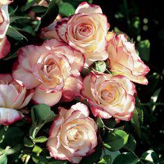 Cherry Parfait Grandiflora Rose at Jackson and Perkins