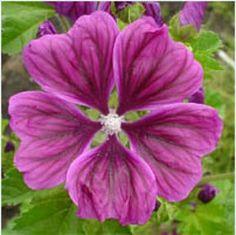Perennials - Perennials - Malva 'Mauritiana'