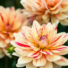 'Awe Shucks' Dahlia The 4-inch-wide blooms of soft yellow have random patterns of red striping all along the petals.