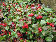 Wintergreen - a gamble... Part Sun Perennials, Eatable Flowers, Low Growing Shrubs, Bushes And Shrubs, Home Landscaping, Garden Club, House Landscape, Fall Flowers, Winter Garden