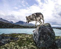 Loki: here I go again on my own. Wolf Husky, Husky Husky, Save Animals, Funny Animals, Loki, Buzzfeed Animals, Vegan Animals, Types Of Dogs, Alaskan Malamute