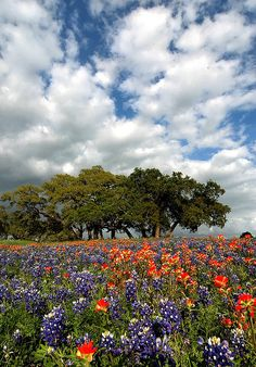 Bluebonnets and Live oaks by Forrest Fotographer on Flickr | Independence, TX