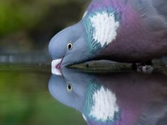 Wood pigeon drinking..  Photo by Mark v/d Walle