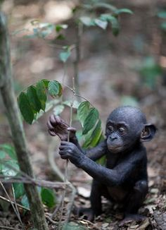 The inclination to share with strangers used to be considered part of what makes us human. New research, however, shows that bonobos also share with strangers - for a price. Discover where they draw the line in this piece from Smithsonian Magazine: http://bit.ly/QD2LGW Image Credit: Photographer: James Hopkirk