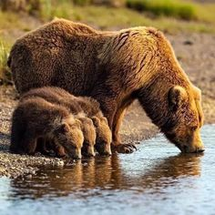 Brown bears enjoy family life to the full in Katmai National Park Wildlife Nature, Nature Animals, Animals And Pets, Baby Animals, Funny Animals, Cute Animals, Baby Pandas, Wild Animals, Parda