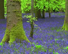 Mossy trees in the bluebell forest