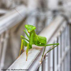 My Bonsai Obsession: Return of the Mantis