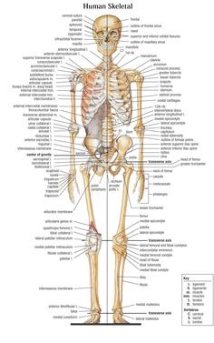 Anatomy Of Bones In Skeleton Bones In The Human Body - Human Body Bones Name