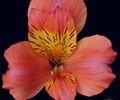 http://www.sierraflowerfinder.com/en/f/alstromeria/1?page=5