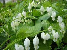 White bleeding hearts Dicentra spectabilis 'Alba' (Gebroken Hartje, mariatranen)