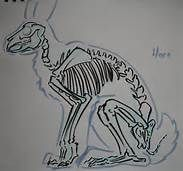 hare skeleton size - Yahoo Image Search results