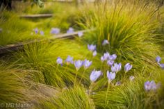 High Line, New York, autumn - Crocus sativus and Carex eburnea