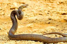 Les 20 serpents les plus venimeux et mortels  2Tout2Rien