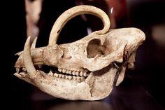 Babirusa Skull Replica - Creatures & Cultures