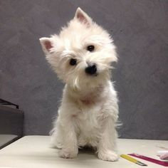 Westies are my favorite dogs ever. Makes me miss my Scouty! Westies, Westie Puppies, Cute Puppies, Cute Dogs, Dogs And Puppies, Doggies, West Highland Terrier Puppy, Highlands Terrier, Baby Animals