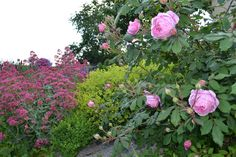 June garden....Alan Titchmarsh rose from David Austin colection with alchemilla mollis and centranthus ruber.