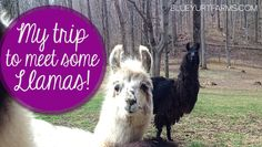 Cute llama photos AND why you might need a llama for your homestead!