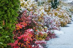 Fine Foliage Dusted with Snow