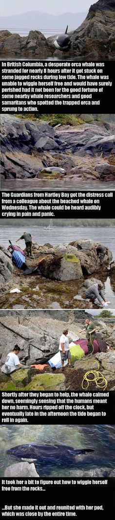 Stranded Orca Is Saved By Some Pretty Amazing People! – 5 Pics