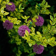 Plants with chartreuse foliage make a big bang on their own -- but become an absolute work of art when paired with purple or blue: http://www.bhg.com/gardening/flowers/perennials/spring-planting-partners/?socsrc=bhgpin033115employvariegatedfoliage&page=6
