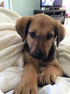 Columbus, OH - Shepherd (Unknown Type)/Terrier (Unknown Type, Small) Mix. Meet Shakira a Puppy for Adoption.