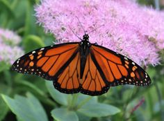 Monarch Butterfly on Pink Sedum Photo by KindredSpiritImages