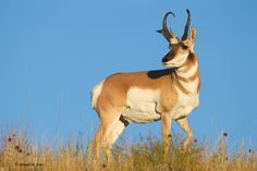 Profiles for embroidery projects - Taos wildlife: pronghorn antelope