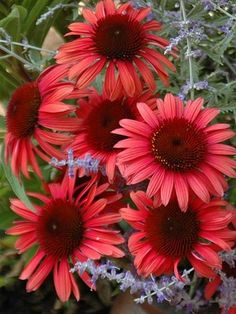 Echinacea 'Twilight' - Extra large center is surrounded by rose petals. Butterflies love this flower. Zones 4-9