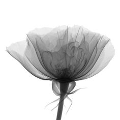 Photo : X-ray of Rose of Sharon (Hibiscus syriacus)
