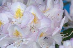 Rhododendron 'Gomer Waterer'    Le rhododendron 'Gomer Waterer' est un rhododendron à feuillage persistant et à floraison splendide. Les boutons de ses fleurs sont rose clair. Il fleurit de rose clair à blanc. Son feuillage est vert foncé. Cette espèce fleurit de mai à juin.