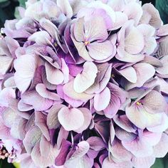 """313 Likes, 15 Comments - Tamsyn Morgans (@tamsynmorgans) on Instagram: """"How gorgeous is this luscious lilac hydrangea outside @libertylondon yesterday...for those of you…"""""""