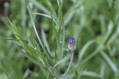 A blue flower to be 2 | par jpskoubo2016