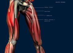 Inflamación y tendinopatia de músculos aductores, cómo tratarlos con masaje.