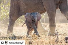 #Repost @renevdschyff with @get_repost  Pink Elephant baby #weg #menseselense #africageographic #africa #AFRIHOST #getaway #africageophoto #odpshutter #getaway #bestofafrica #wildlifephotography #throughmylens #mylife #thisisafrica #big5 #Phalaborwa #photography #wildlifephotography #wildlifeart #sanparks #albino #leucistic #elephants Big 5, Pink Elephant, Albino, Wildlife Art, Wildlife Photography, Elephants, Africa, San, Animals