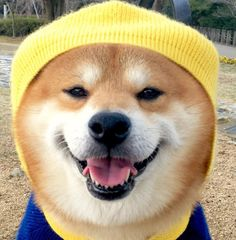 Shiba Inu Berry is such a handsome Doge! This Shibe should be on the cover of Vogue!