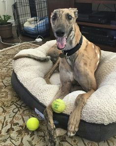 Grip is home forever as a foster failure with, greyhound sister Cate and 2 cats!