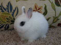 Purebread Netherland Dwarf Rabbit Baby♡looks like she even has eyeliner on . she would be mine! Adorable Bunnies, Funny Bunnies, Baby Bunnies, Cute Bunny, Adorable Animals, Nature Animals, Zoo Animals, Funny Animals, Dwarf Baby