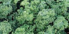 🥬🌿🌱 Αρκετοί τη θυμόμαστε από τον κήπο της γιαγιάς μας ως λαχανίδα, τα τελευταία χρόνια όμως την ακούμε όλο και πιο συχνά με την ονομασία κέιλ (kale). Πρόκειται για ένα superfood του λαχανόκηπου με υπέροχη γεύση που αξίζει να δοκιμάσουμε! 🍀 Το κέιλ έχει υψηλή διατροφική αξία και ευεργετικές ιδιότητες για την υγεία, καθώς είναι πλούσιο σε βιταμίνες Α και C, σε μέταλλα, σε φυτικές ίνες και σε αντιοξειδωτικά στοιχεία.