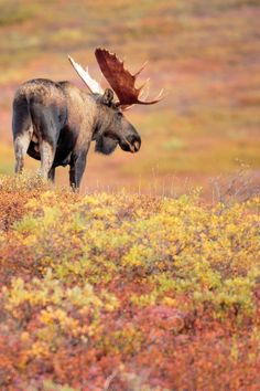 moose in Denali National Park (Alaksa) by Doug Kliewer