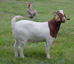 A USA texan Boer goat farm with a good website Cabras Boer, African Hut, Show Goats, Boer Goats, Cartoons Love, Best Meat, Goat Farming, Amphibians, Livestock