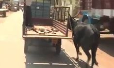 The video shows the cow anxiously running after her two-month-old calf in Haveri in Karnataka in southern India, which had injured itself and collapsed after its wounds became severe and infected.