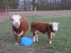 Miniature Herefords